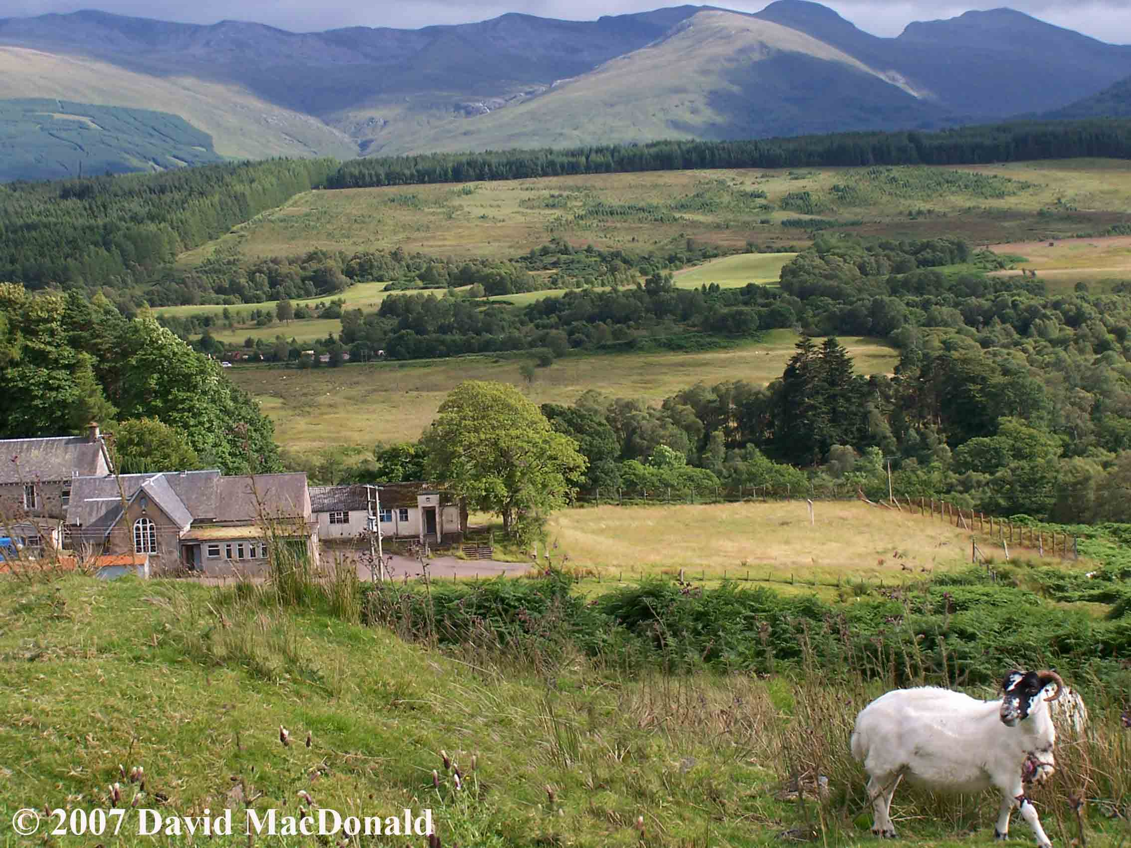 Sheep, highlands, scotland